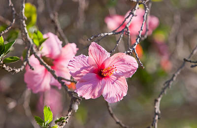 Hibiscus Photograph - Hibiscus by American School