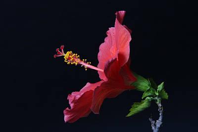 Studio Photograph - Hibiscus by Lynn Berreitter