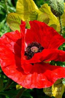 Hiding Red Poppy Print by Mary Deal