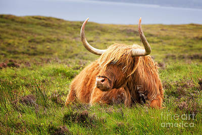 Angus Steer Photograph - Highland Cow by Jane Rix