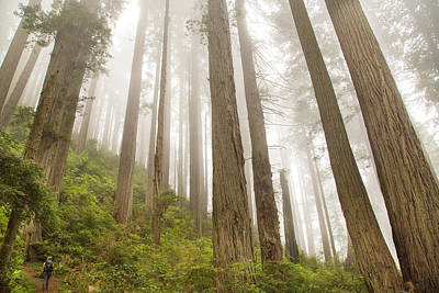 Hike Through The Redwoods Print by Kunal Mehra
