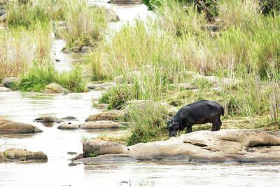 Hippopotamus Photograph - Hippo Drinking Out Of River by Susan Schmitz