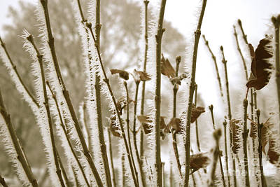 Hoarfrost Branches In Sepia Print by Carol Groenen