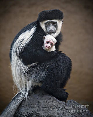Colobus Photograph - Hold On Tight by Jamie Pham