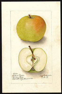 Drawing - Holland Pippin Variety Of Apples by Deborah Griscom Passmore