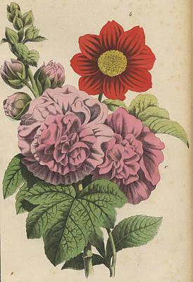 Hollyhock And Dahlia Print by German Botanical Artist