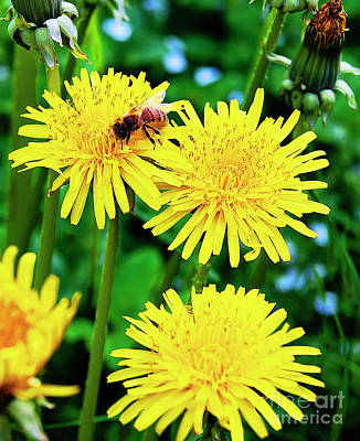 Bee Photograph - Honey Bee And Dandelions by Nat Air Craft