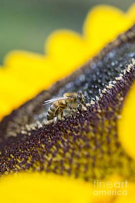 Honey Bee Print by Tim Gainey
