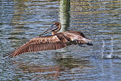 Pelican Photograph - Hop Skip And A Jump by HH Photography of Florida