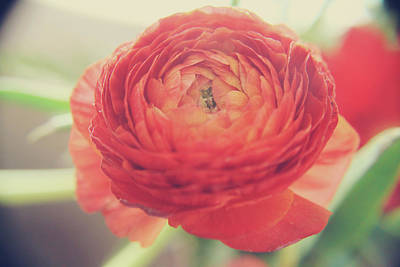 Ranunculus Photograph - Hope by Laurie Search