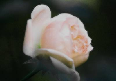 Roses Photograph - Hopeful by  The Art Of Marilyn Ridoutt-Greene