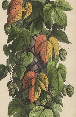 Hops Print by German Botanical Artist