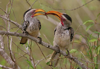 Hornbill Photograph - Hornbill Love by Bruce J Robinson