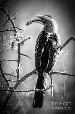 Hornbill Digital Art - Hornbill Resting by Pravine Chester