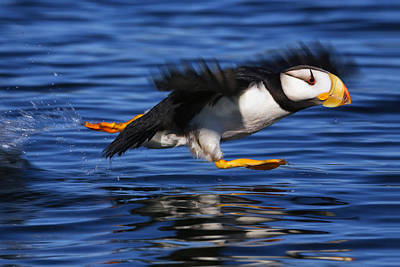 Flying Photograph - Horned Puffin  Fratercula Corniculata by Marion Owen
