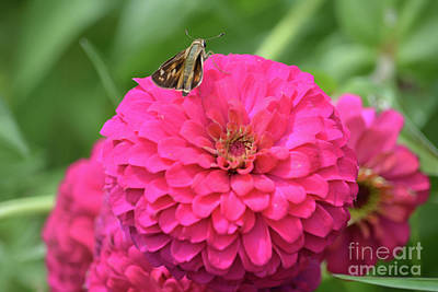 Hot Pink Zinnia With Moth Print by Ruth Housley