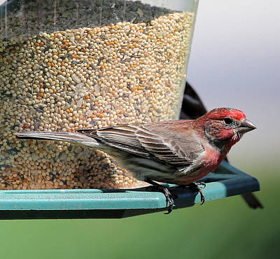 House Finch Photograph - House Finch by Theresa Campbell