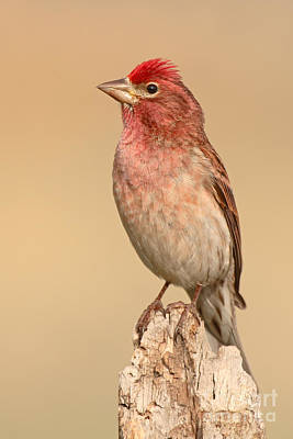 House Finch Photograph - House Finch With Crest Askew by Max Allen