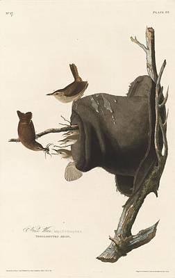 Wren Drawing - House Wren by John James Audubon