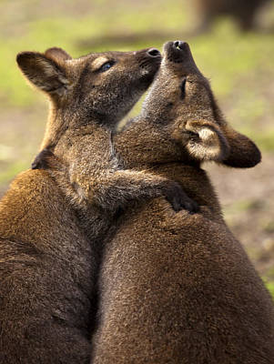 Marsupial Photograph - Hugs by Mike  Dawson