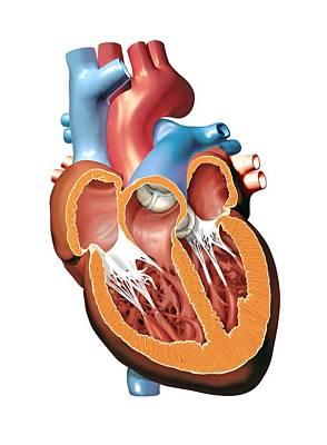 Human Heart Anatomy, Artwork Print by Jose Antonio PeÑas