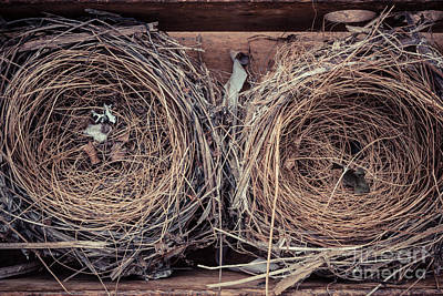 Pine Needles Photograph - Humming Bird Nests by Edward Fielding