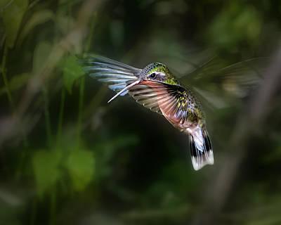 Hummingbird 1b Print by Leigh Pelton