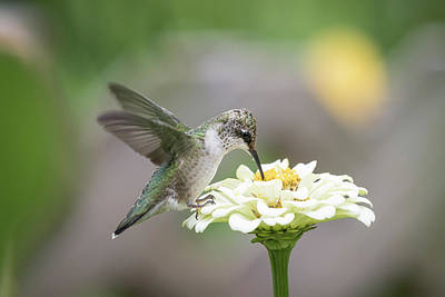 Photograph - Hummingbird 2016-2 by Thomas Young
