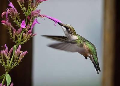 Hummingbird Photograph - Hummingbird And Agastache by Kathy Eickenberg