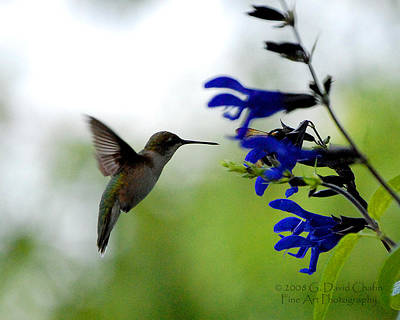 Hummingbird And Blue Flowers Original by Dave Chafin