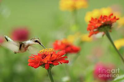Dreamy Food Photograph - Hummingbird And Zinnias by Darren Fisher