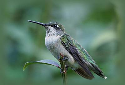 Hummingbird Close-up Print by Sandy Keeton