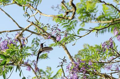 White-necked Jacobin - Florisuga Mellivora Photograph - Hummingbird In Flight In Minas Gerais, Brazil by Valmir Braz Junior