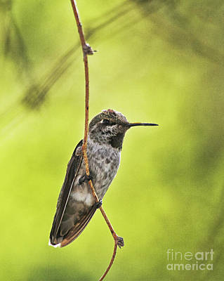 Hummingbird In Lemon Light Print by Ruth Jolly