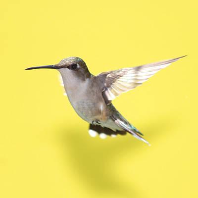 Birds In Flight Photograph - Hummingbird On Yellow 1 by Robert  Suits Jr