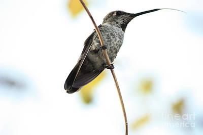 California Wildlife Photograph - Hummingbird Tongue by Carol Groenen