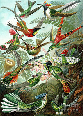 Rainforest Drawing - Hummingbirds by Ernst Haeckel
