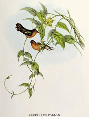 Hummingbird Drawing - Hummingbirds by John Gould