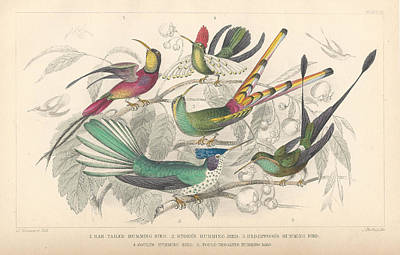 Hummingbird Drawing - Hummingbirds by Oliver Goldsmith