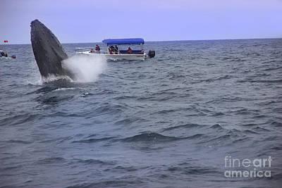 Humpback Whale Breaching Near Puerto Lopez - Ecuador V Print by Al Bourassa