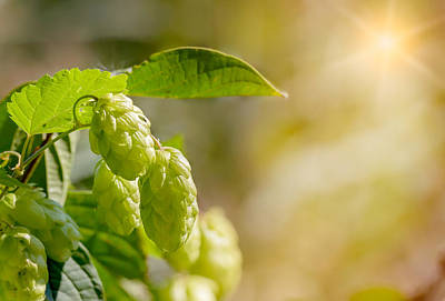 Humulus Lupulus Flowers, Also Called Hops Print by Alain De Maximy