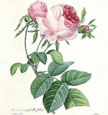 Hundred-leaved Rose Print by Pierre Joseph Redoute