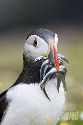 Hungry Puffin Print by Tim Gainey