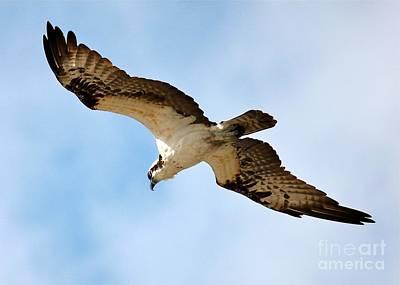 Birds In Flight Photograph - Hunter Osprey by Carol Groenen