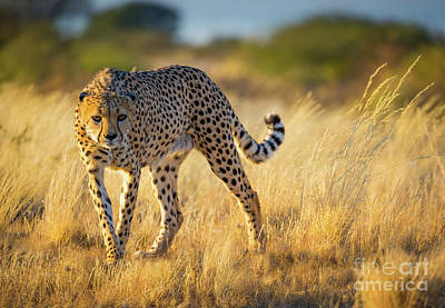 Crouched Photograph - Hunting Cheetah by Inge Johnsson