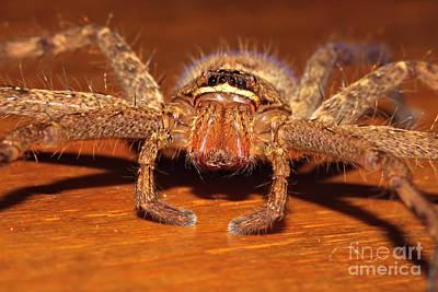 Huntsman Spider Print by Joerg Lingnau