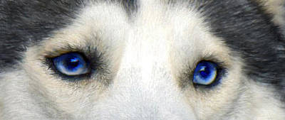 Siberian Digital Art - Husky Eyes by Jane Schnetlage