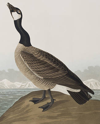 Geese Drawing - Hutchins's Barnacle Goose by John James Audubon