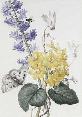 Hyacinth, Cyclamen And Narcissi Print by Pierre Joseph Redoute