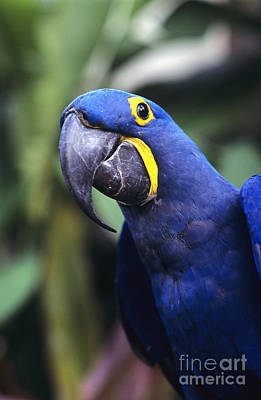 Hyacinth Macaw Print by Greg Vaughn - Printscapes